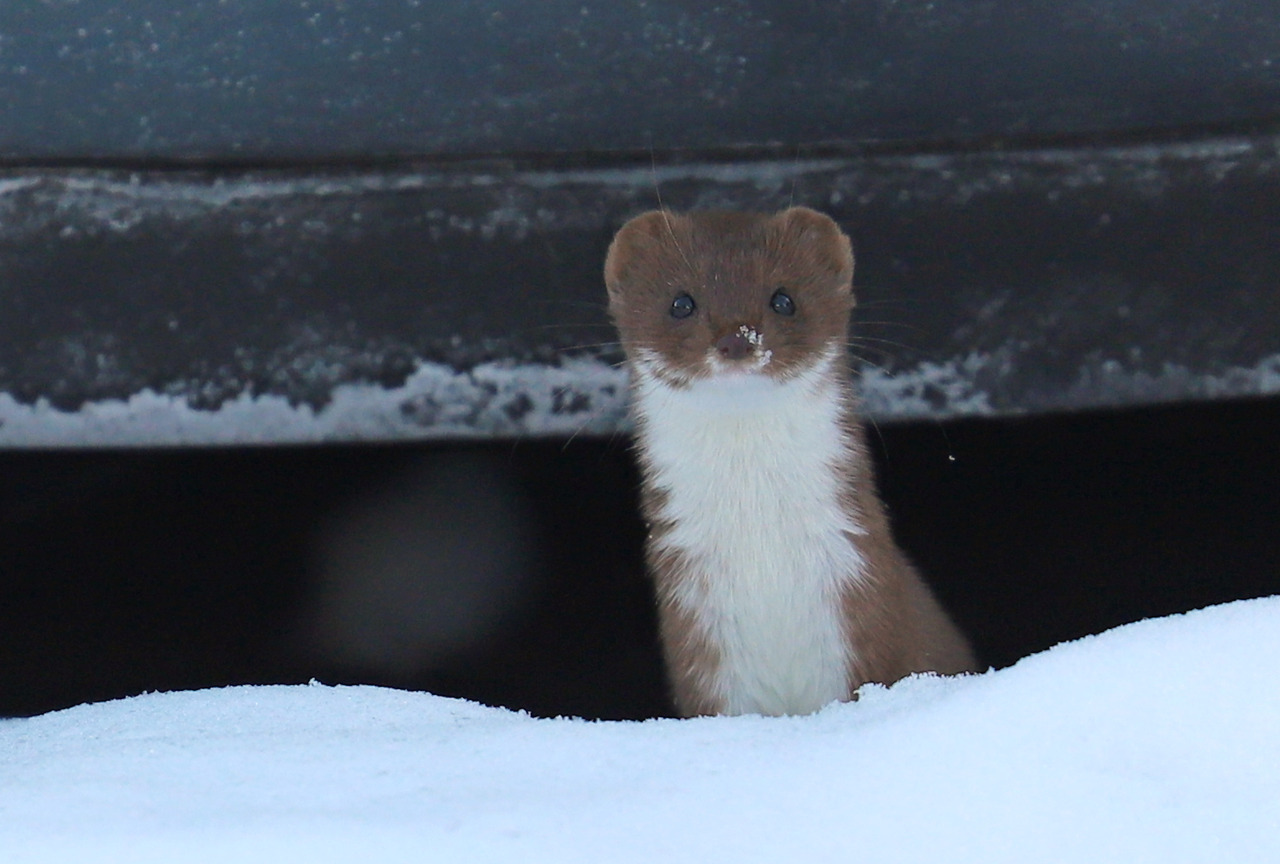 The Least Weasel is Big on Attitude (6 pictures)