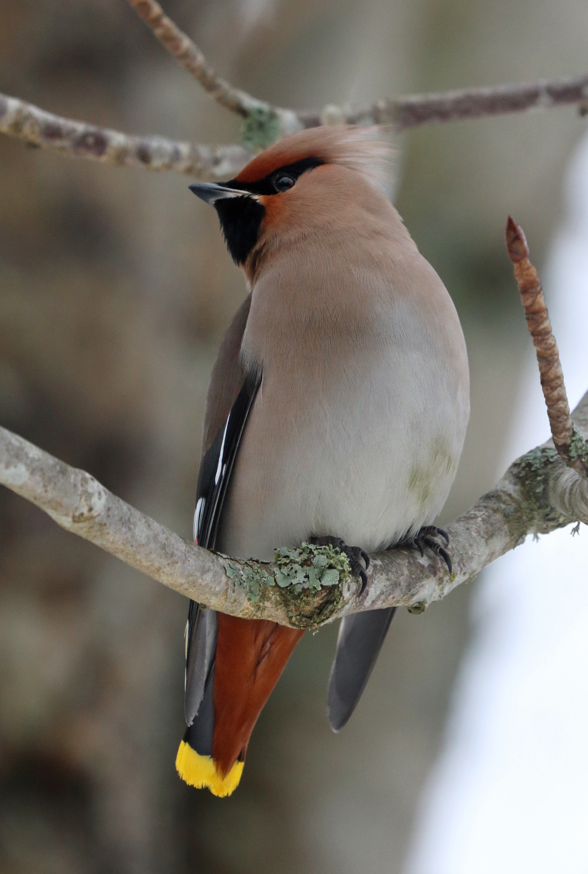 Bohemian Waxwing (2 pictures)