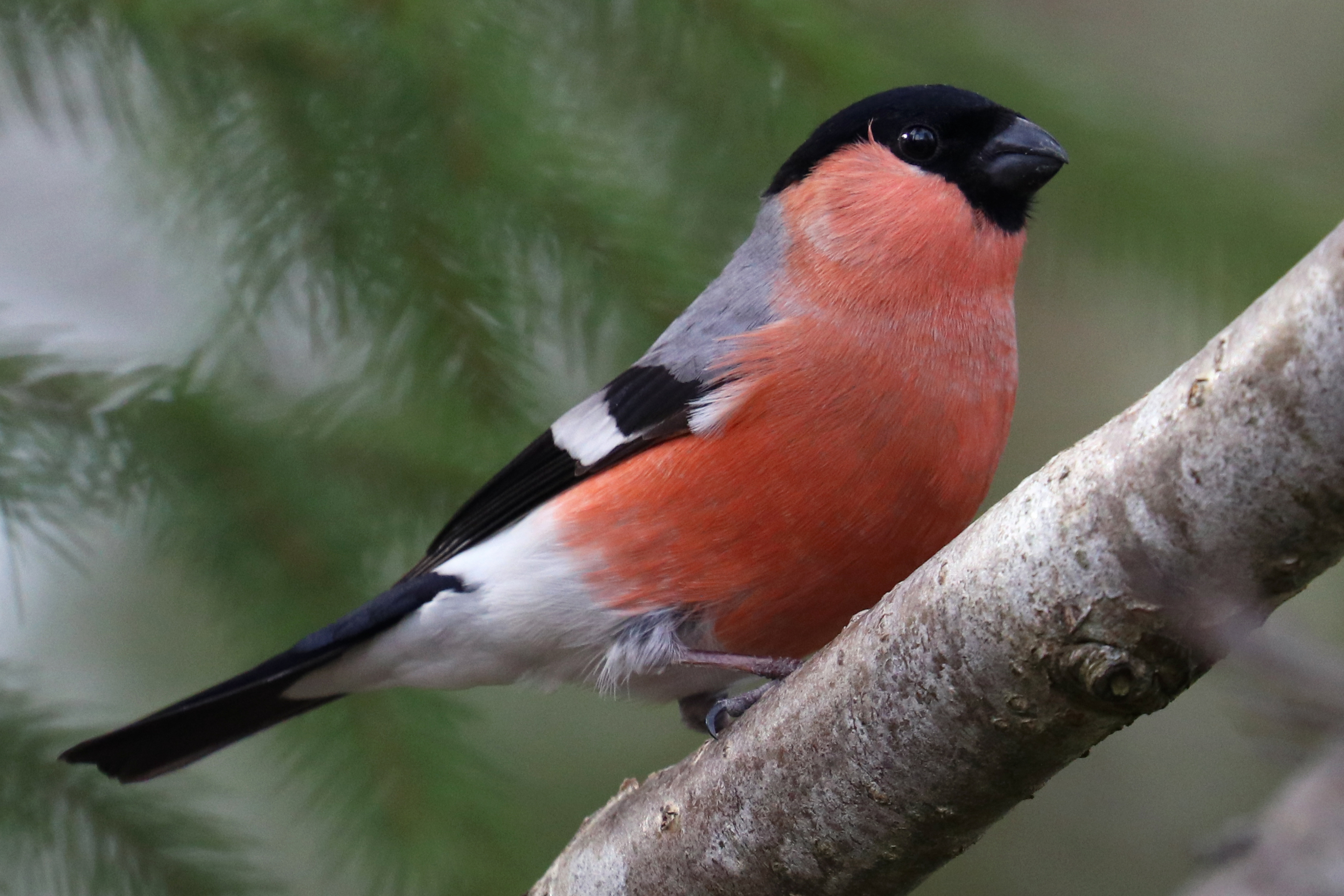 Eurasian bullfinch (2 pictures)